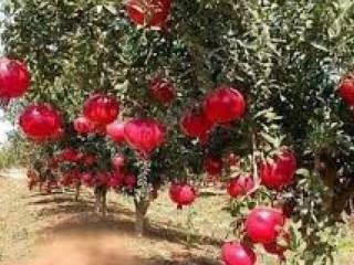 Pomegranate fruit garden for sale in Kumluca Antalya