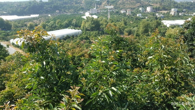 1350-m2-avocado-garden-in-alanya-kestel-for-sale-turkey-big-2
