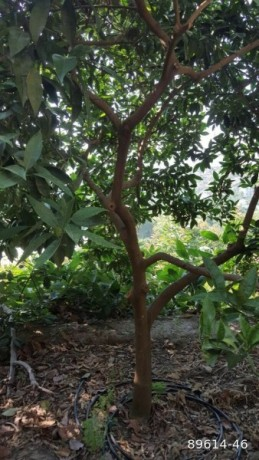 1350-m2-avocado-garden-in-alanya-kestel-for-sale-turkey-big-5