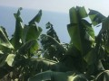 gazipasa-12-acres-of-bananas-in-zeytinada-turkish-mediterranean-sea-small-5