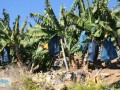 gazipasa-12-acres-of-bananas-in-zeytinada-turkish-mediterranean-sea-small-12