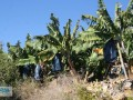 gazipasa-12-acres-of-bananas-in-zeytinada-turkish-mediterranean-sea-small-13