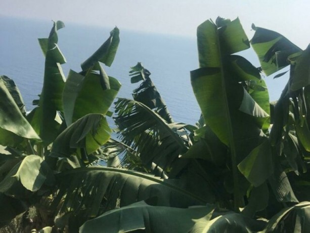 gazipasa-12-acres-of-bananas-in-zeytinada-turkish-mediterranean-sea-big-5