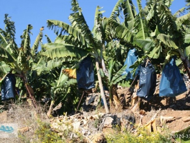 gazipasa-12-acres-of-bananas-in-zeytinada-turkish-mediterranean-sea-big-12