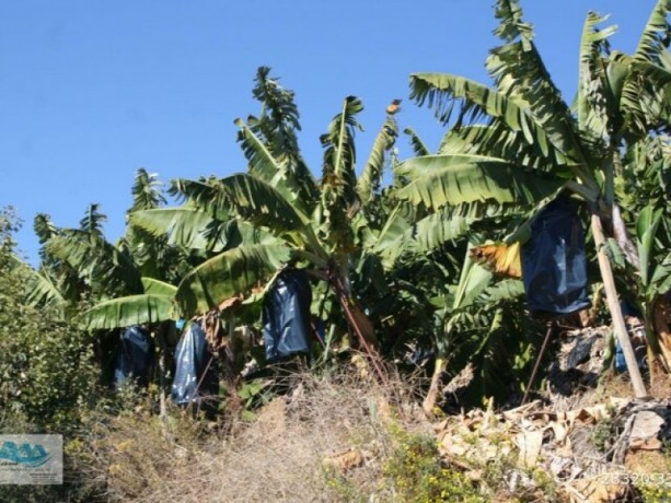 gazipasa-12-acres-of-bananas-in-zeytinada-turkish-mediterranean-sea-big-13