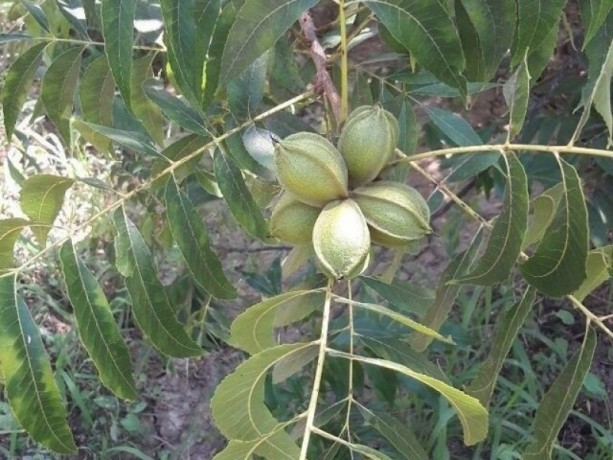 groomed-pikan-walnut-garden-for-sale-in-karaoz-big-2