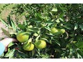 fully-organic-certified-built-equipped-citrus-orchards-close-to-urban-center-small-19