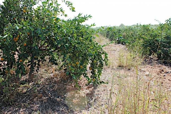 fully-organic-certified-built-equipped-citrus-orchards-close-to-urban-center-big-15